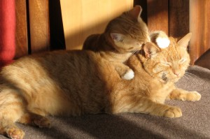 two-ginger-cats-650546