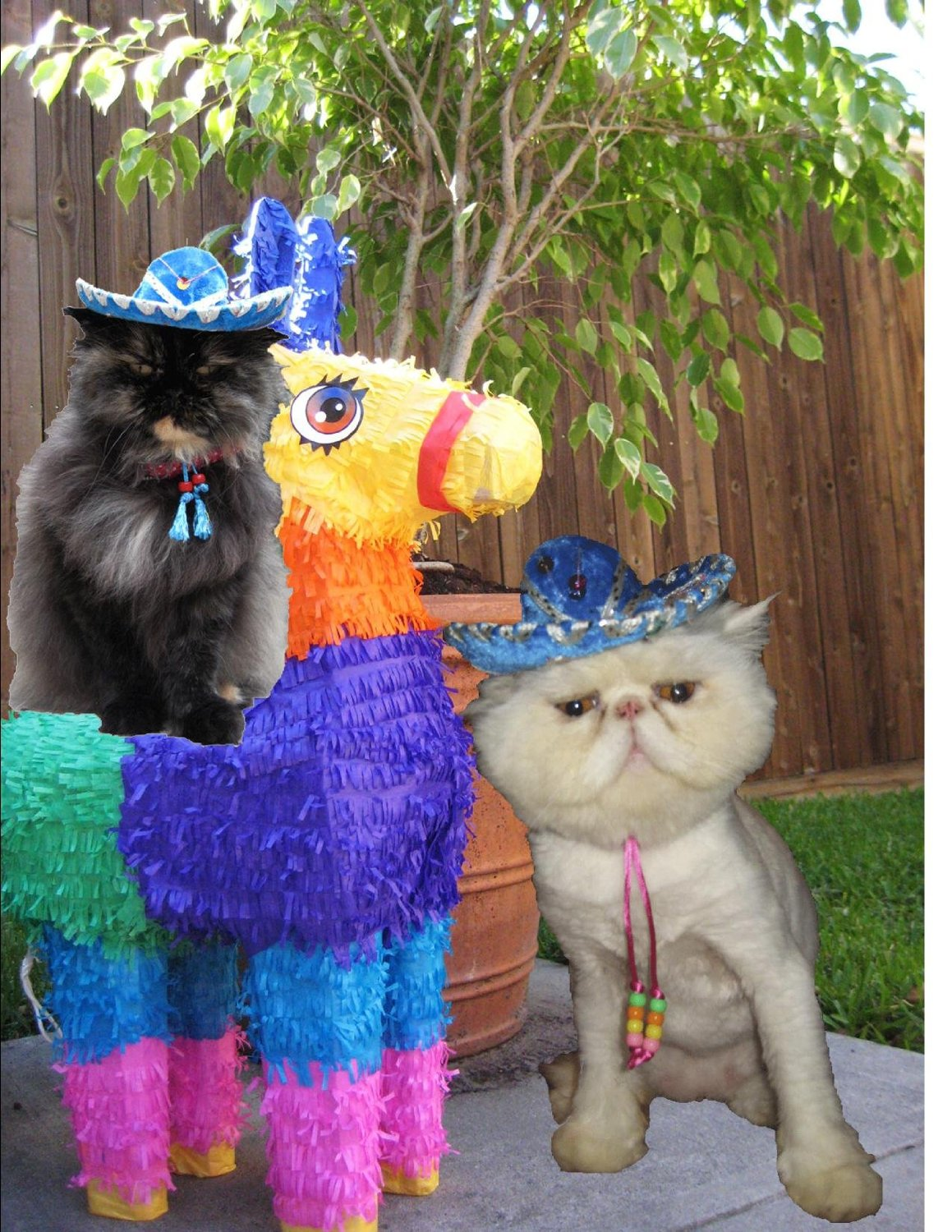 cat in sombrero