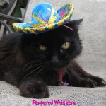 Beautiful Turquoise Miniature Cat Sombrero